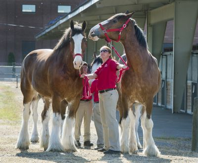 Budweiser Clydesdales Payday and Mike and handler Shelby Zarobinski are seen in May 2018 at the Spokane County Fair & Expo Center. For the first time since 1983, Anheuser-Busch, which brews Budweiser, won't advertise during the Super Bowl.  (Dan Pelle/The Spokesman-Review)