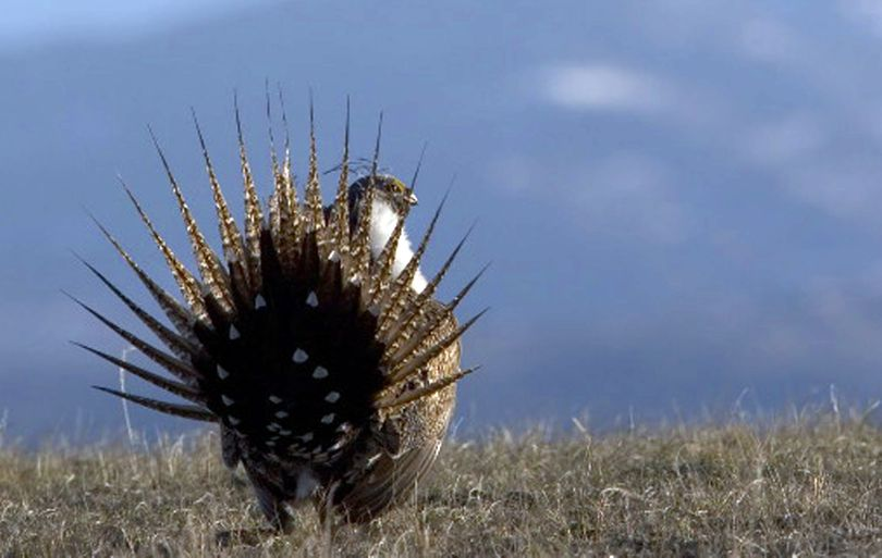 Sage grouse produced chicks in Lincoln County. (Associated Press)