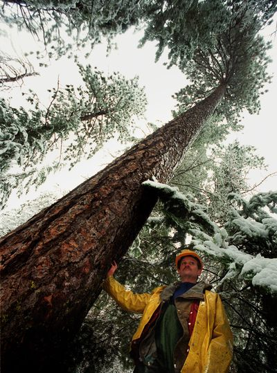 In a photo from December 1999, forester Ed Shaw, seen in the Colville National Forest, talks about thinning dense stands of trees. (FILE)