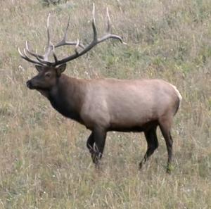 Bull elk in Montana during bugling season. (Bob Legasa)