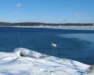 Swans wintering on Lake Michigan at Traverse City. (Cheryl-Anne Millsap / Photo by Cheryl-Anne Millsap)
