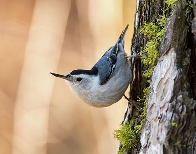 Jerry Rolwes took this photo of a white-breasted nuthatch at Turnbull National Wildlife Refuge  last Thursday. (Jerry Rolwes / COURTESY of Jerry Rolwes)