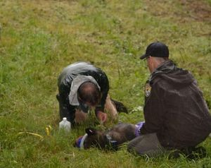 DNA tests confirmed that this canine captured, tested and GPS collared on June 8 in Skagit County, Washington, is a gray wolf that continues to roam Western Washington into the fall. (U.S. Fish and Wildlife Service)