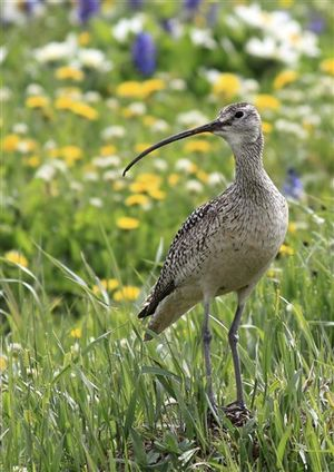 Long-billed curlew (AP)