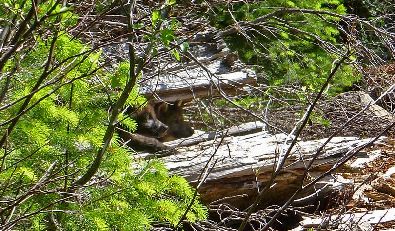Gray wolf pups. (Oregon Department of Fish and Wildlife)