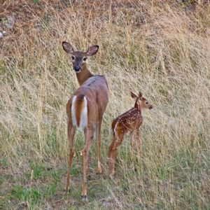 Deborah Chan took this picture of white-tailed deer, a doe and fawn, at dusk last month on the Shelley Lake trail.Deborah Chan (Deborah Chan / The Spokesman-Review)