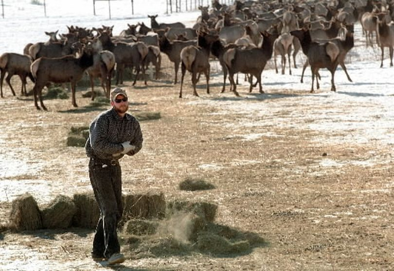 Alfalfa hay is fed to a herd of Rocky Mountain elk at the Oak Creek Wildlife Area near Naches, Wash. The Washington Department of Fish and Wildlife provides daily winter feedings to the elk herd to keep them from having to migrate to lower elevations and neighboring farms to forage. The concentration of elk makes the area a target for shed-antler gatherers in winter and spring. The disturbance can kill winter-weary big game. (Associated Press)