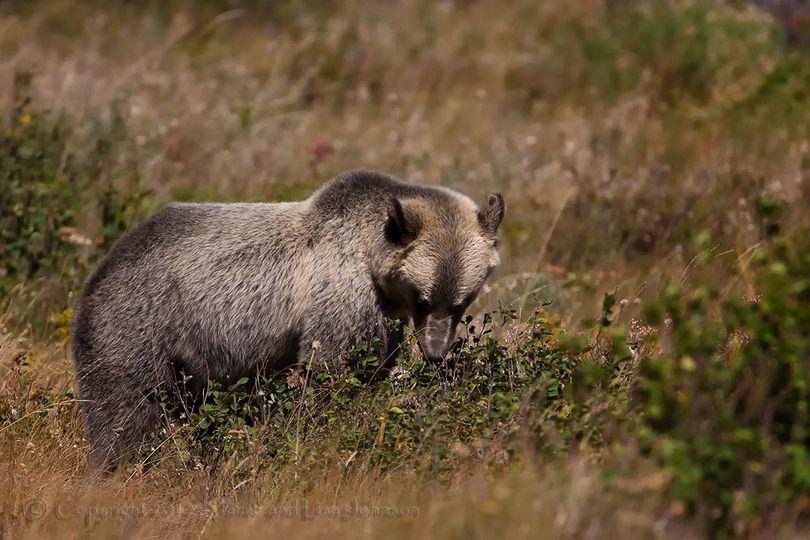 A Montana grizzly bear feeds on huckleberries. (Jaime Johnson)