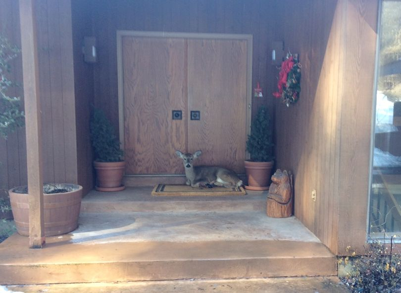 An injured white-tailed deer rests on the doorstep of a Spokane-area home. (Ted Stiles)