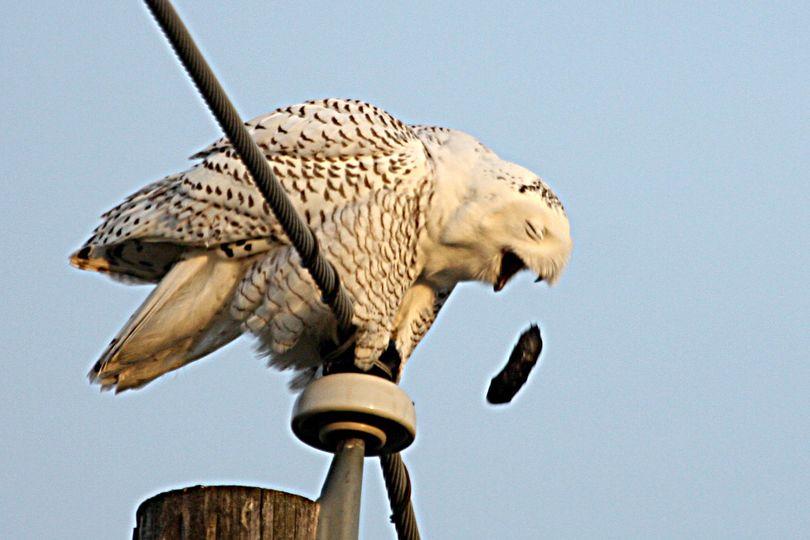 A snowy owl regurgitates a pellet of bones and fur while perched new Mt. Spokane High School on Dec. 3, 2012. (Ron Dexter)