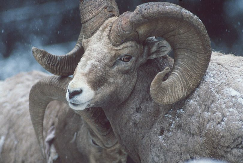Tags for hunting bighorn rams are coveted because of supply and demand. (Rich Landers)