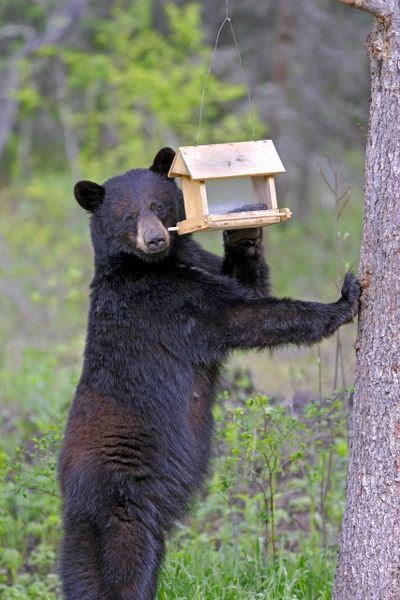 """{div class=""""field field-name-field-image-description field-type-text-long field-label-hidden""""}{div class=""""field-items""""}{div class=""""field-item even""""}A black bear eating bird seed from a bird feeder.{/div}{/div}{/div}  (Courtesy of IDFG)"""