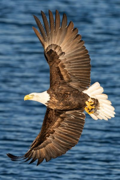 A bald eagle banks into the sky after grasping a kokanee salmon from the waters of Lake Coeur d'Alene at Wolf Lodge Bay. Craig Goodwin took this photo of the iconic bird. Eagles have started appearing in Coeur d'Alene for their annual migration. Their numbers usually peak during the third week of December. (Craig Goodwin / Courtesy)