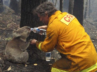 Firefighter David Tree shares his water with an injured Australian Koala at Mirboo North after wildfires swept through Australia's Victoria state.   (Associated Press / The Spokesman-Review)