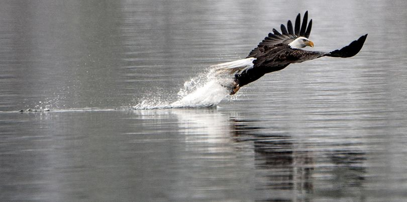 A bald eagle pulls a fish out of Lake Coeur d'Alene at Higgens Point in Coeur d'Alene on Monday, Dec.  28, 2015. The lake is perfect place for eagles to feast on spawned-out kokanee salmon. (Kathy Plonka / The Spokesman-Review)