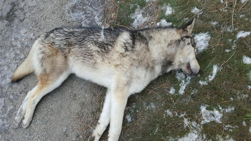 An canine that checked out to be a pet husky, not a gray wolf or wolf hybrid, was found dead from an apparent vehicle collision along U.S. Highway 2 near the intersection with Deer Park-Milan Road in Spokane County on Dec. 1, 2015.   (Lynda Andrew)