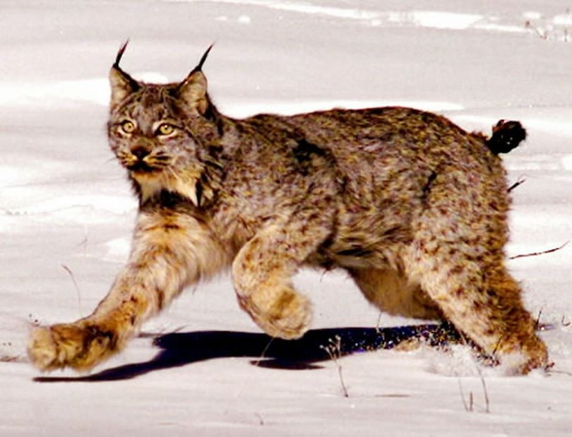 In control of Congress and the White House, Republicans are seeking to roll back the influence of the Endangered Species Act, one of the government's most powerful conservation tools, after decades of complaints that it hinders drilling, logging and other activities. The act has offered protection for dwindling species such as the Canada lynx. (Jack Smith / Associated Press)