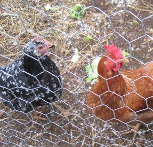 Fresh eggs are just one of the benefits of backyard chickens. The family-friendly fowl also contribute fertilizer, insect control and companionship. (Cheryl-Anne Millsap / Down to Earth NW Correspondent)