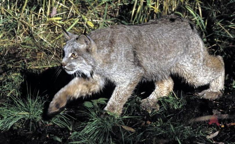 Canada lynx. (U.S. Fish and Wildlife Service)