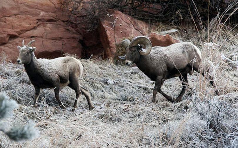 Bighorn sheep. (Josh Morgan / Rapid City Journal)