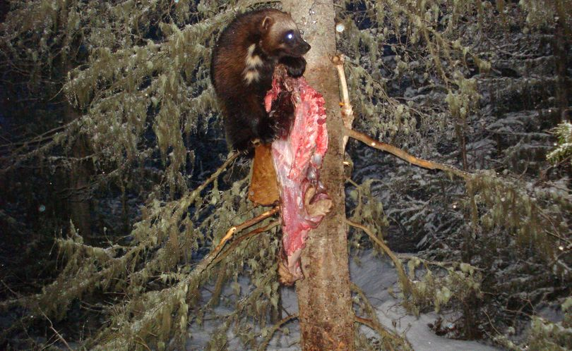 One of two wolverines photographed by Oregon Fish and Wildlife Department researchers using a motion activated camera at a baited camera station on April 13, 2011 in the Wallowa Mountains. (Oregon Department of Fish and Wildlife)