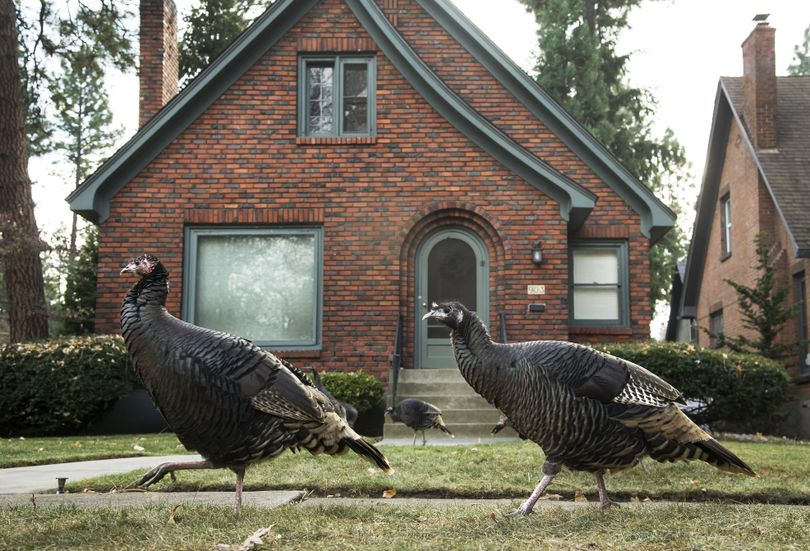 A rafter of wild turkeys wanders through a yard at 18th Avenue and Lincoln Street on the South Hill.