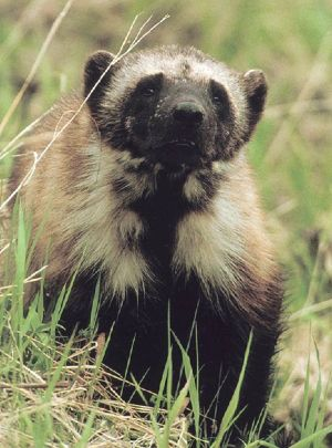 The wolverine is one of a handful of species the federal government says needs protection because of the effects of climate change on habitat. (Associated Press)