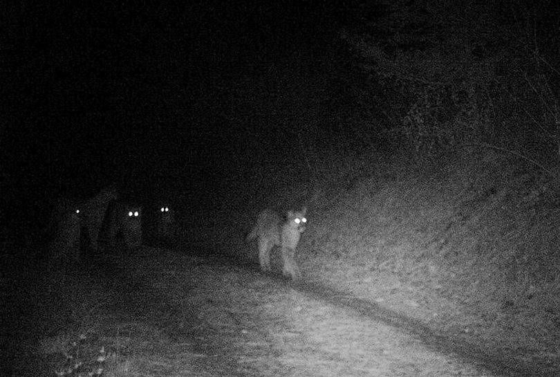 Five cougars were gathered on the driveway to a Newman-Lake Area home in April 2014. (Ken Vanden Heuvel)