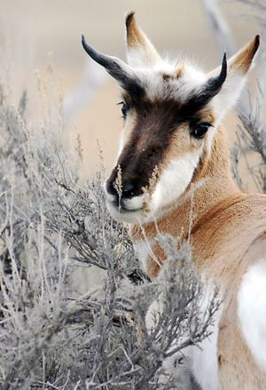 """Pronghorns are unique to North America, the only surviving species from the family """"Antilocapra americana,"""" which means the """"American goat- antelope.""""  (Associated Press / The Spokesman-Review)"""