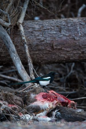 A magpie perches on the partially submerged carcass of a white-tailed deer that a cougar had killed and draped over a tree in a stream.  (Jaimie Johnson)