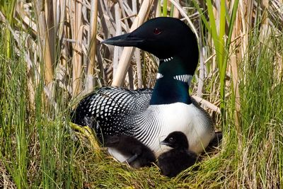 Four loons that nested in Eastern Washington or hatched in the region's waters died last year from poisoning caused by ingesting lead sinkers or jigs.Photo courtesy of Daniel Poleschook Jr. (Photo courtesy of Daniel Poleschook Jr. / The Spokesman-Review)