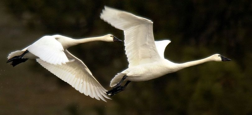 Tundra swans risk their lives visiting the Silver Valley, as mining waste pollution kills some of them every year. (File)