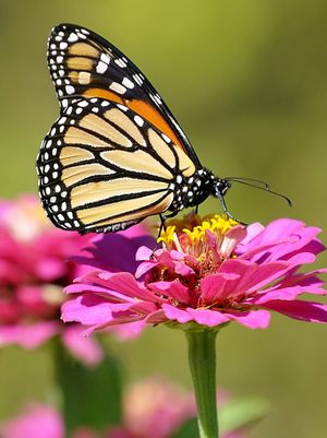 A monarch butterfly visits an Oklahoma garden during its migration from the northern United States to Mexico. (Associated Press)