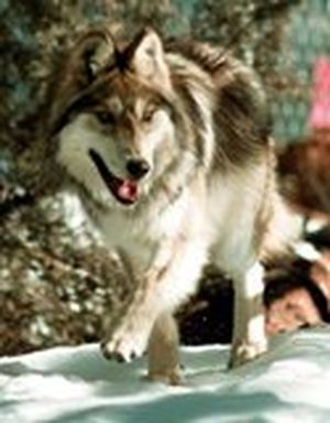 FILE -This Jan. 26, 1998 file photo shows a Mexican gray wolf moving through his new home, a third of an acre pen after being released from a cage in Hannagan Meadows, Ariz. The Mexican government plans to return the rarest of North America's gray wolves to their historic range, and news of the move has prompted a flurry of questions from wildlife managers, ranchers and conservationists in the United States. The U.S. Fish and Wildlife Service said this week it learned of the plan to release a pack of captive-bred Mexican gray wolves during a meeting in July 2009 with Mexican officials. (Jeff Robbins / Associated Press)