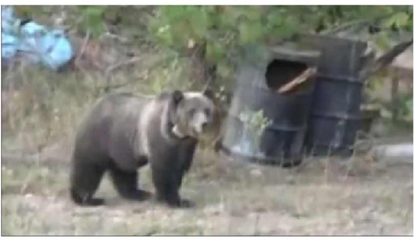 A collared grizzly bear shows up in a rural yard in the Coeur d'Alene River area north of Enaville.