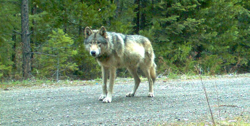 In May, trail cams confirmed OR-7 had formed the Rogue Pack and sired pups. (Associated Press)