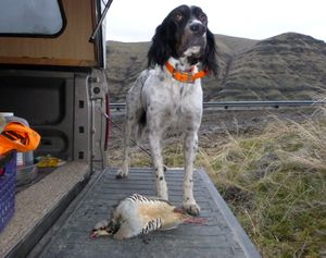 Rich Landers' English setter Scout stands guard over one of the chukars he pointed and retrieved during a January hunt in the Snake River canyon. (Rich Landers)