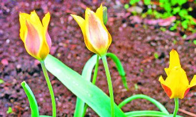 Species tulips have a reputation as great – and repeat – performers.  (Mike  Prager / The Spokesman-Review)
