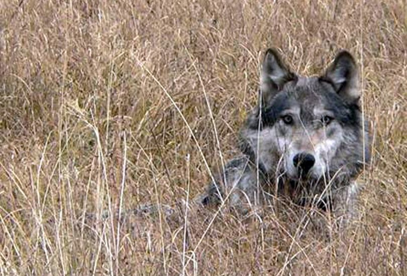 This undated image provided by Montana Fish Wildlife and Parks shows a wolf in Montana. Hunters in Montana have shot about 160 wolves as the season came to an end in mid February, 2012, falling short of the state's 220-animal quota.  (Montana Fish, Wildlife and Parks)