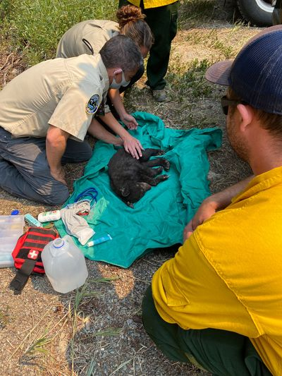 Rich Beausoleil and Lindsay Welfelt, both Washington Department of Fish and Wildlife biologists, tend to an injured bear cub found near the Cedar Creek fire in the Methow Valley Monday.  (Courtesy of USDA Forest Service, Cedar Creek/Delancy Fire 2021)