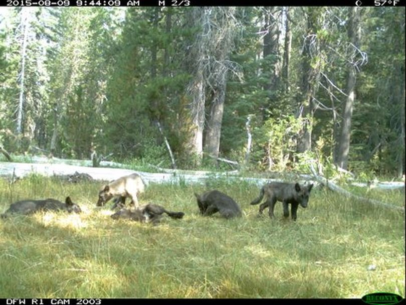 Remote camera images such as this one snapped in August 2015 have helped California wildlife officials to confirm that five gray wolf pups and two adults are in Northern California.  (California Department of Fish and Wildlife)