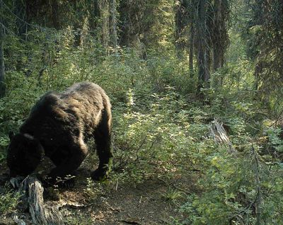A grizzly bear wearing a radio collar is photographed by a researcher's trail camera in the Selkirk Mountains southeast of Ione.