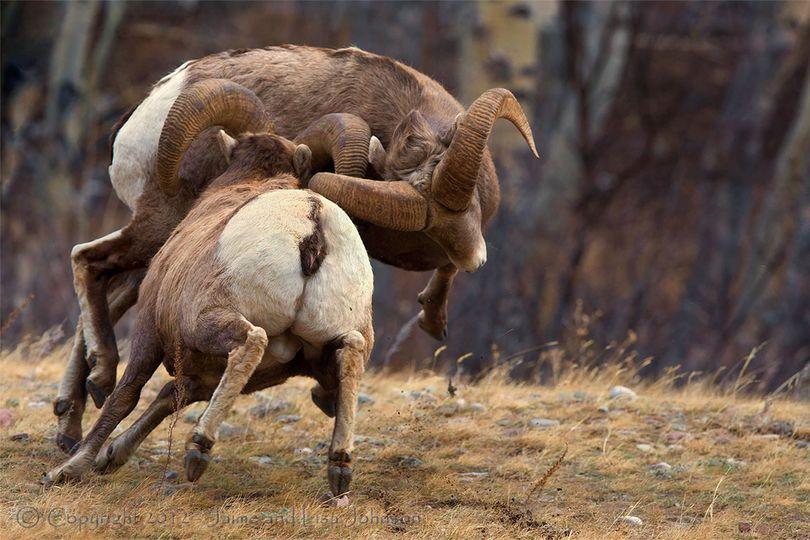 Two Montana bighorn rams battle for breeding superiority during the December mating season. ©Jaime Johnson (Jaime Johnson)