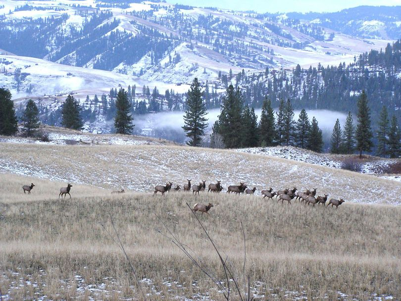 Wintering elk move through a field on the 4-O Ranch Wildlife Area above the Grande Ronde River. (Paul Wik / Washington Fish and Wildlife Department)