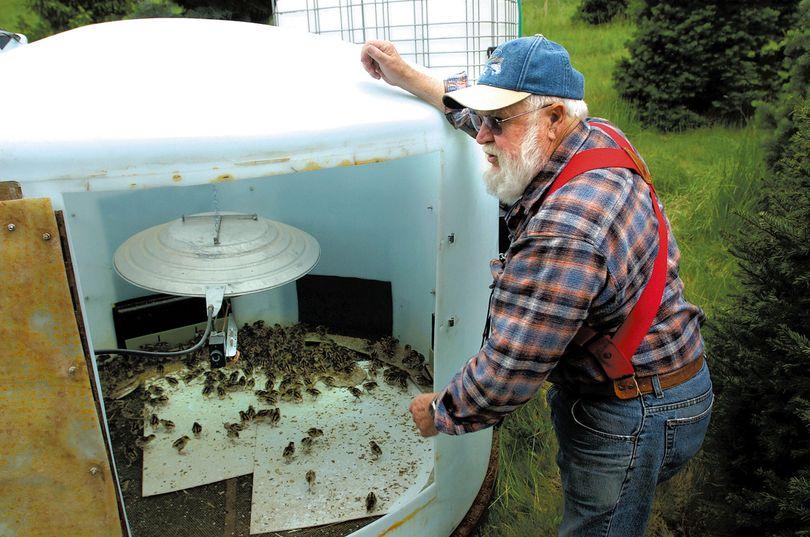 Jim Hagedorn of Viola checks in on week-old pheasant chicks being raised in a make shift incubator near Princeton.