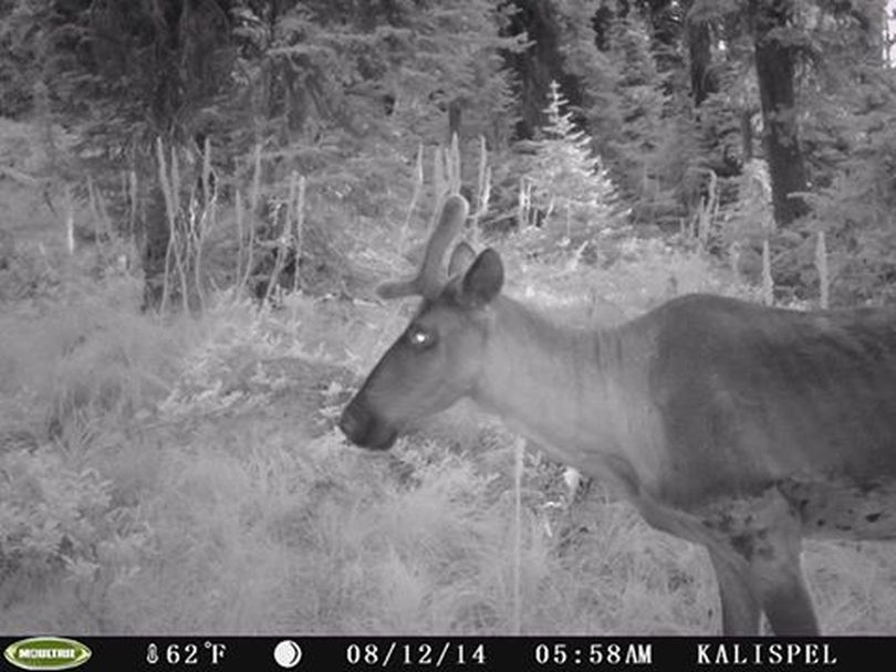 A mountain caribou photographed by a trail camera in the Selkirk Mountains in August 2014. (Kalispell Tribe)