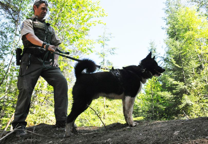 Jax, a 1-year-old Karelian bear dog, returns after a black bear release operation in Pend Oreille County to his handler, Washington Fish and Wildlife Department officer Keith Kirsch. 