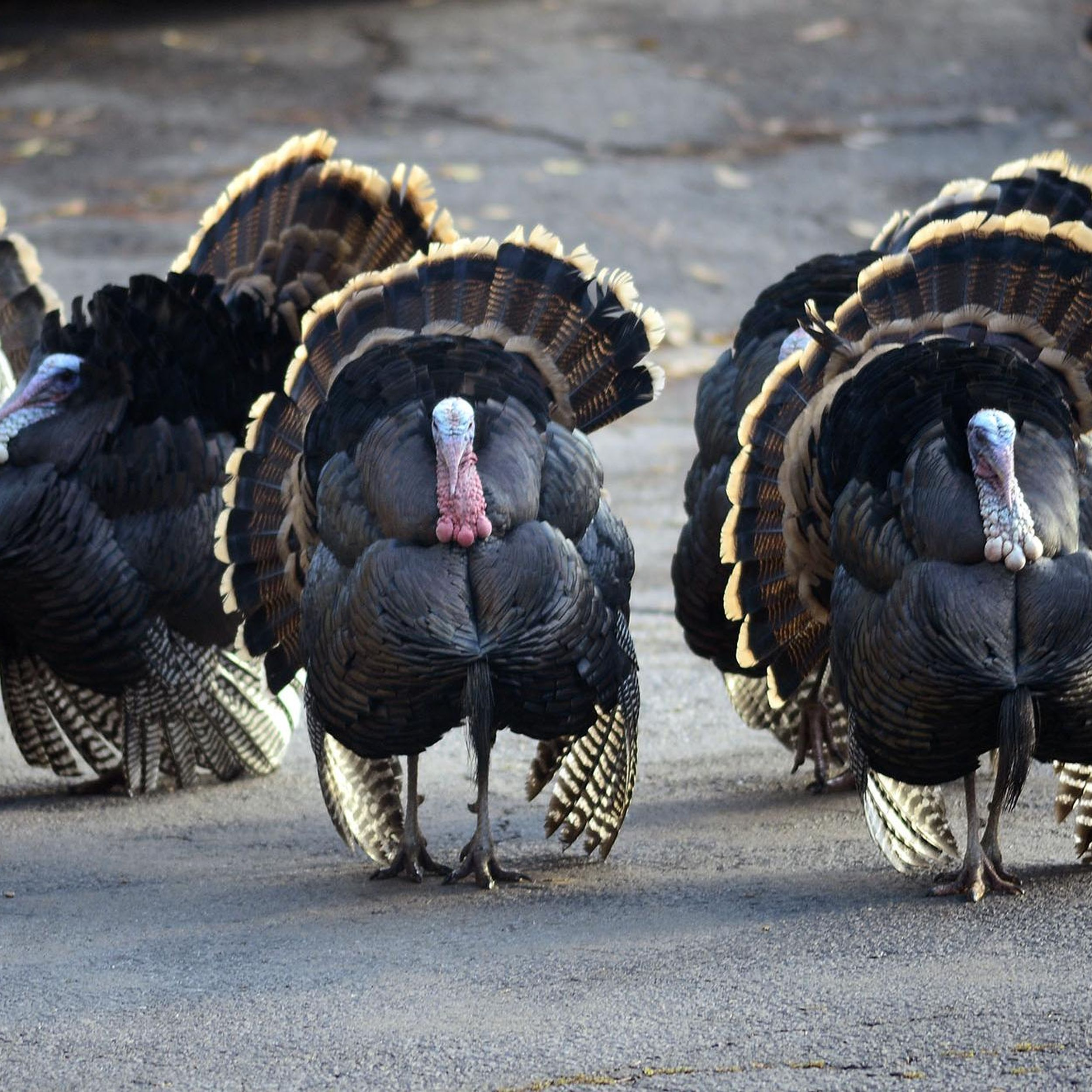 Inland Northwest S Thriving Turkey Population Is An Invasive Nuisance Or A Conservation Success Or Both The Spokesman Review