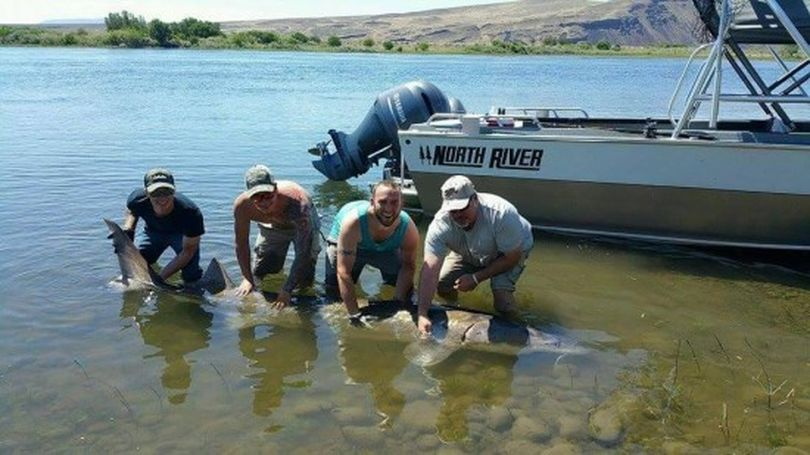 An 11-foot sturgeon is photographed before release in the Hanford Reach of the Columbia River by Tanner Adler, Doug Young, Ryan Armatrout and Steve McPeak.  Armatrout caught the gentle giant.  (Courtesy of Diawa Photo Contest)
