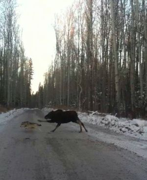 A cow moose chases a wolf across a road near Moose Pass, Alaska. (Summit Lake Lodge)
